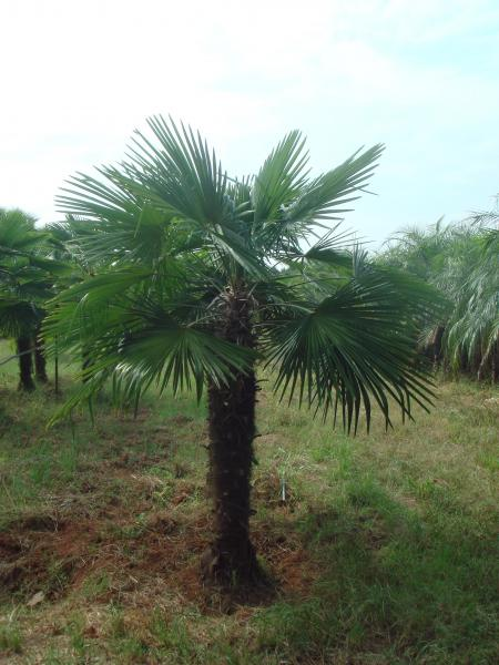 trachycarpus-fortuneii--chinese-windmill-palm